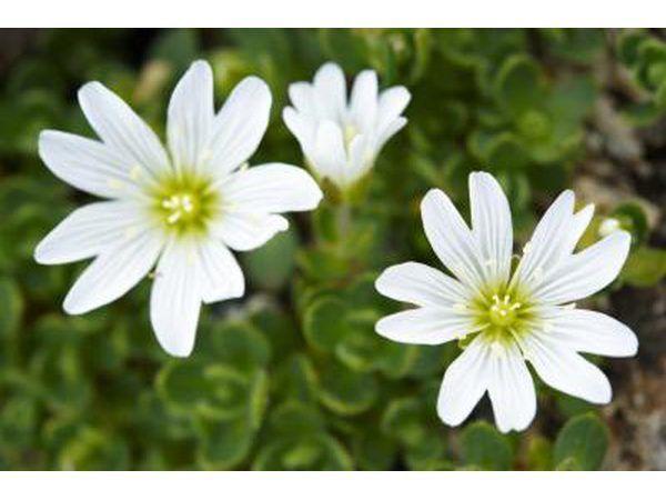 flores de la pamplina