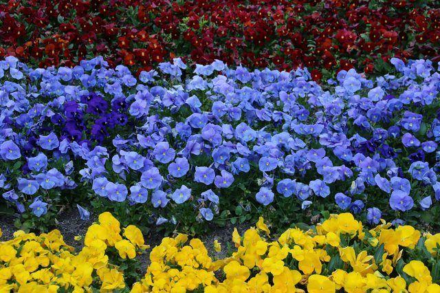 Variedades de color diferente de la misma flor dan un aspecto formal.