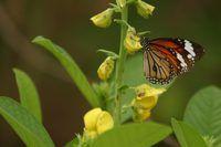 Plantas como el algodoncillo son conocidos por atraer y mariposas deben estar en su área de cría.