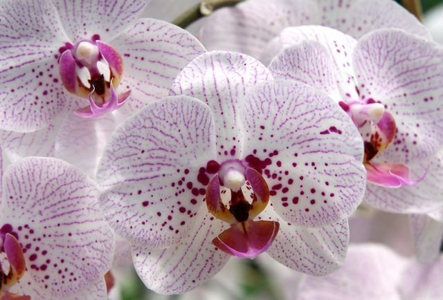 orquídeas mariposa varían en color de blanco a rosa espectral de moteado.