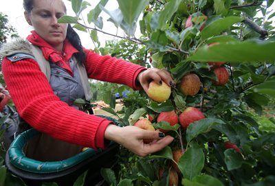 Un granjero cosecha manzanas en un huerto.