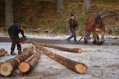 Un registrador de corta troncos de árboles con una sierra de cadena.