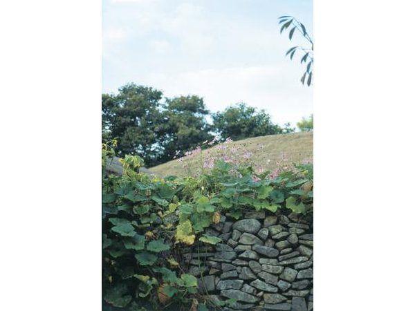 Planta enredaderas a lo largo de la pared de piedra.