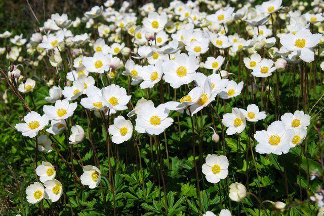 Anemone-campanillas de invierno florecen en primavera.