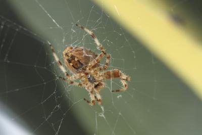 Una araña reclusa parda teje una red en una casa.