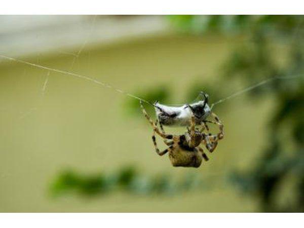 A Brown capturas de araña reclusa se aprovechan en su web.