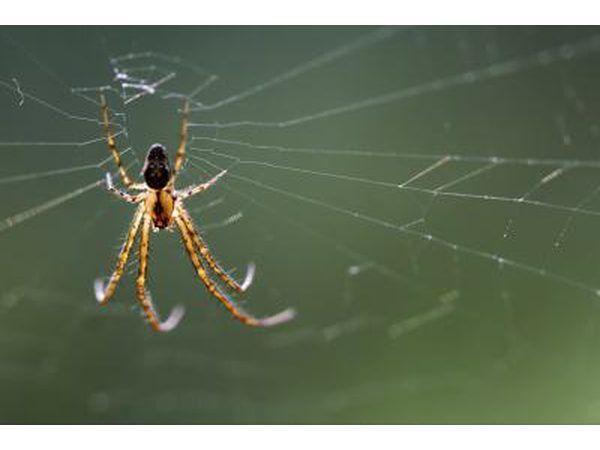 Una araña reclusa parda teje una red.