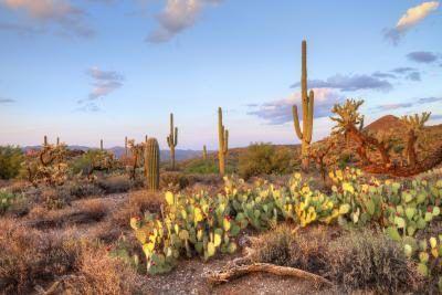Varios cactus en el desierto de Sonorian, Arizona