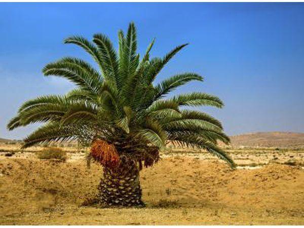 Una palmera del desierto con las fechas en Eilat, Israel